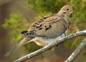 A mourning dove, symbol of peace.